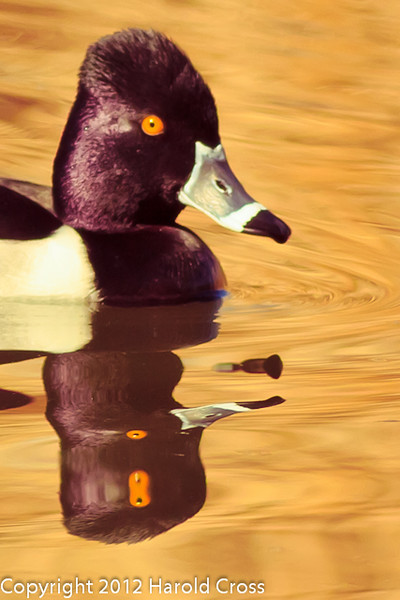 A Ring-necked Duck taken Feb. 6, 2012 in Tucson, AZ.