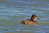 A female Ring-necked Duck taken Oct. 27, 2010 near Fruita, CO.