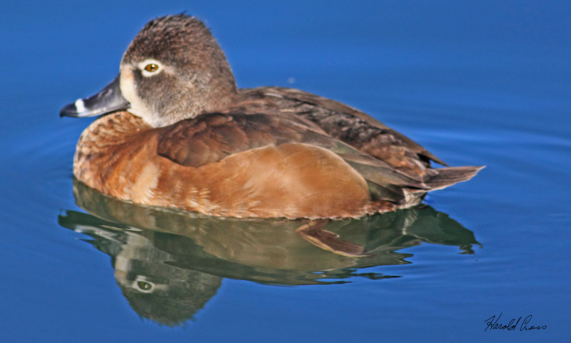 A Ring-necked female duck taken Feb 8, 2010 in Gilbert, AZ.