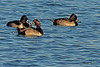 Ring-necked Ducks taken Nov. 1, 2010 near Fruita, CO.