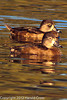 Ring-necked Ducks taken Feb. 25, 2012 in Tucson, AZ.