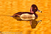 A Ring-necked Duck taken Feb. 6, 2012 in Tucson, AZ.
