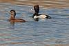 Ring Neck duckss taken April 11, 2011 in Grand Junction, CO.