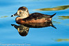 A Ring-necked Duck taken Feb. 21, 2012 in Tucson, AZ.