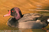 A Rosybill Pochard taken Feb. 20, 2012 in Tucson, AZ.