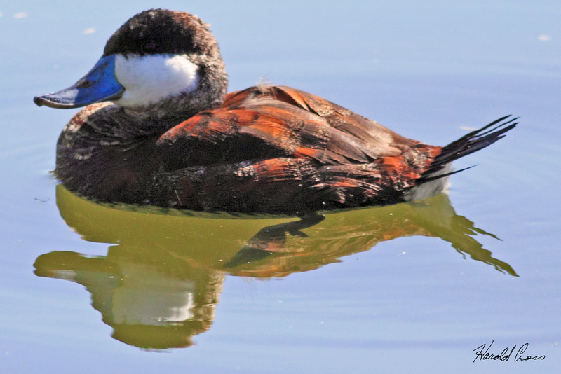 A Ruddy Duck male taken Feb 13, 2010 in Gilbert, AZ.