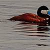 A Ruddy Duck taken June 7, 2011 near Ely, NV.