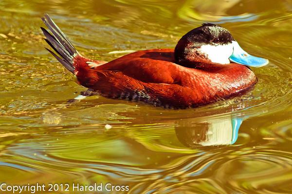 A Ruddy Duck taken Feb. 22, 2012 in Tucson, AZ.