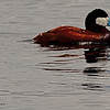 A Ruddy Duck taken June 11, 2011 near Ely, NV.