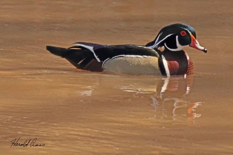 A Wood Duck taken Apr. 4, 2011 in Grand Junction, CO.