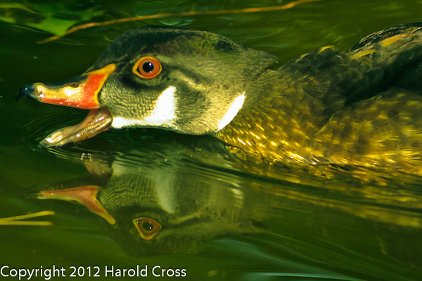 A Wood Duck taken July 19, 2012 in Albuquerque, NM.