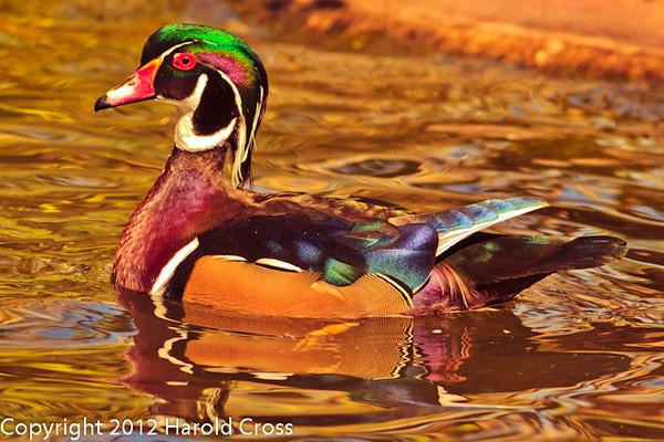 A Wood Duck taken Feb. 25, 2012 in Tucson, AZ.
