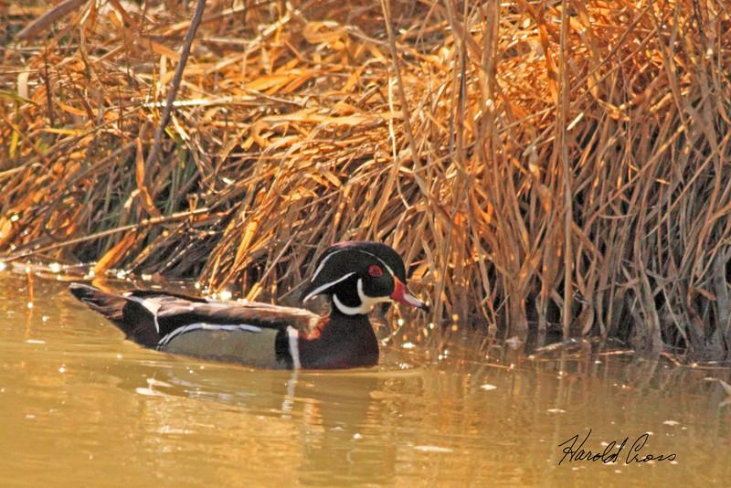 A Wood Duck taken Mar 3, 2010 in Grand Junction, CO.