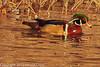 A Wood Duck taken Jan. 27, 2012 in Grand Junction, CO.