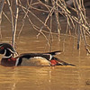 A Wood Duck taken Mar. 31, 2011 in Grand Junction, CO.