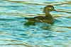A Wood Duck taken Jan. 9, 2012 in Grand Junction, CO.