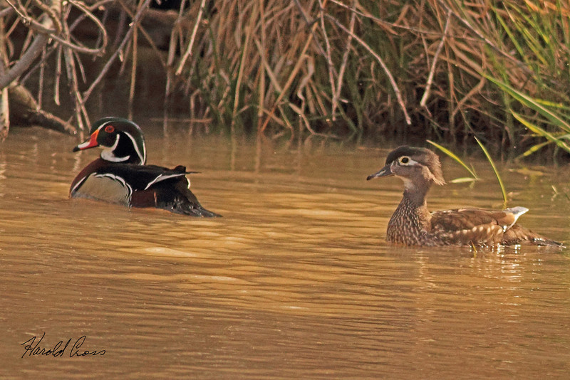 Wood Ducks taken Mar. 30, 2011 in Grand Junction, CO.