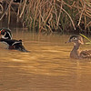 Wood Ducks taken Mar. 30, 2011 in Grand Junction, CO.