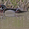 A Wood Duck taken Apr 1, 2010 in Grand Junction, CO.