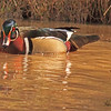 A Wood Duck taken Apr. 4, 2011 in Grand Junction, CO.