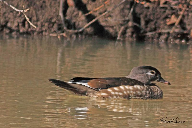 A Wood Duck taken Mar 19, 2010 in Grand Junction, CO.