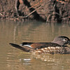A Wood Duck taken Mar 19, 2010 in Grand Junction, CO.