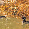 Wood ducks taken in Grand Junction, CO on 28 Feb, 2010.