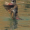 A Wood Duck taken May 13, 2011 near Denver, CO.