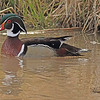 A Wood Duck taken Mar. 30, 2011 in Grand Junction, CO.