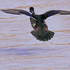 A Wood Duck taken Mar 11, 2010 in Grand Junction, CO.