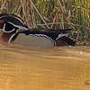 A Wood Duck taken Mar. 31, 2011 in Grand Junction, CO.