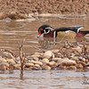 Wood duck taken in Grand Junction, CO on 27 Feb, 2010.