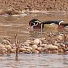 Wood duck taken in Grand Junction, CO on 27 Feb, 2010.