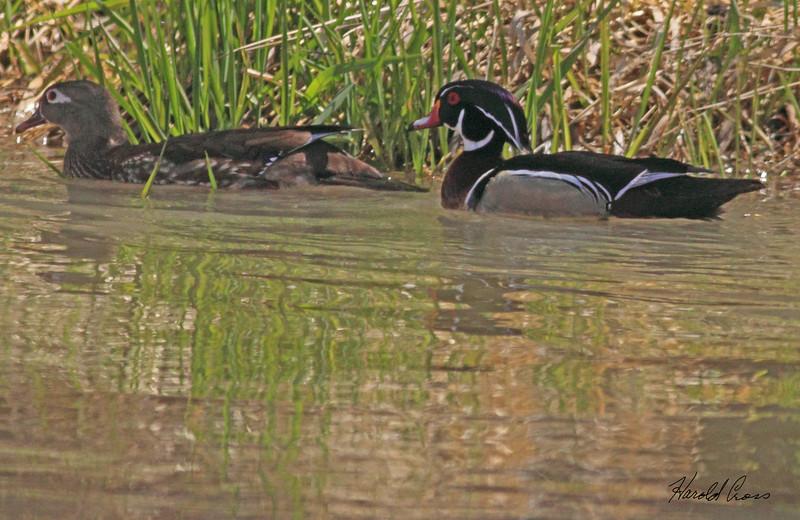 Wood Ducks taken Apr 1, 2010 in Grand Junction, CO.