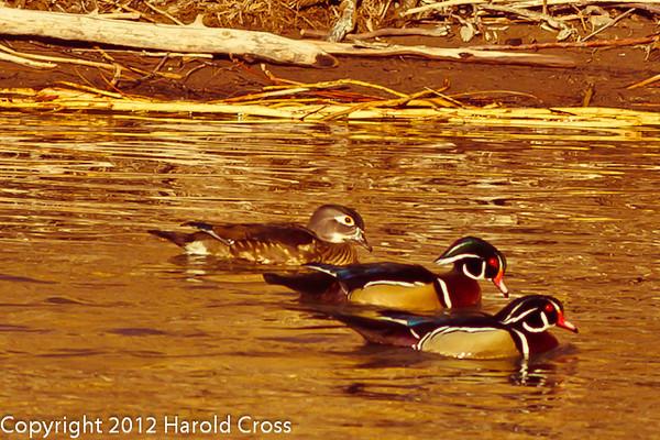 Wood Ducks taken Jan. 27, 2012 in Grand Junction, CO.