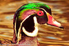 A Wood Duck taken Feb. 25, 2012 in Tucson, AZ.