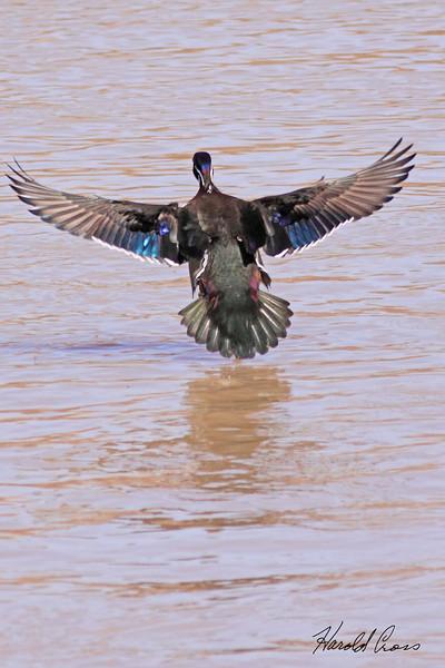 A Wood Duck taken Mar 11, 2010 in Grand Junction, CO.