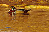 A Wood Duck taken Jan. 27, 2012 in Grand Junction, CO.