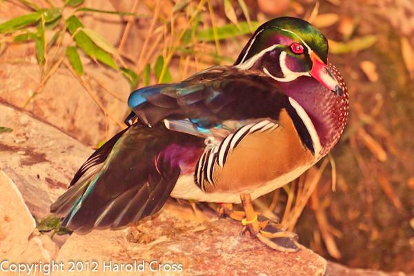 A Wood Duck taken Feb. 20, 2012 in Tucson, AZ.