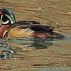 A Wood Duck taken May 13, 2011 near Denver, CO.