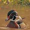 A Wood Duck taken Mar. 30, 2011 in Grand Junction, CO.