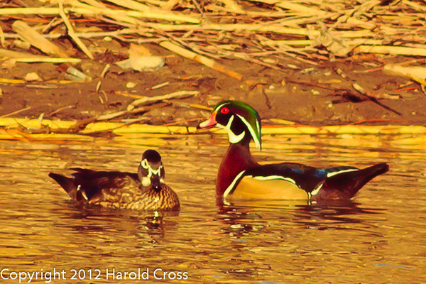 Wood Ducks taken Jan. 27, 2012 in Grand Junction, CO.