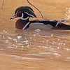 A Wood Duck taken Mar 14, 2010 in Grand Junction, CO.