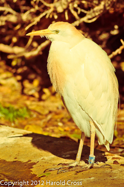 A Cattle Egret taken July 19, 2012 in Albuquerque, NM.