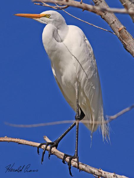 A Great Egrit taken Feb 17, 2010 in Gilbert, AZ.