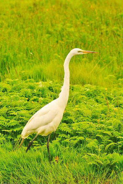 A Great Egret taken Jun 11, 2011 near Fortuna, CA.