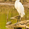 A Great Egret and turtle taken July 21, 2011 near Soccorro, NM.