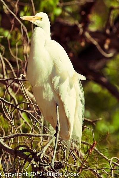 A Great Egret taken Feb. 25, 2012 in Tucson, AZ.
