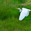 A Great Egret taken Jun 11, 2011 near Fortuna, CA.