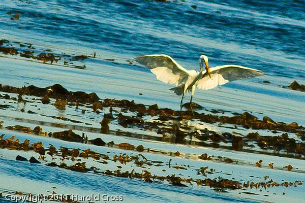 A Great Egret taken Sep. 28, 2011 in Monterey, CA.